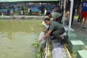 Ribuan Benih Bandeng Ditebar di Surabaya