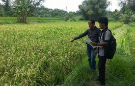 Puluhan Hektar Tanaman Padi di Sampang Diprediksi Gagal Panen