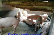 Tak Berijin, Peternakan Babi Ditutup