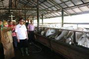 Plt Gubernur Aceh Lihat Pembiakan Sapi Oleh Dinkeswanak