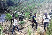 TNI dan Polri Musnahkan 2 Hektare Ladang Ganja