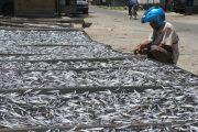 Ikan Depik Unik Dan Dia Ada Dikala Gelap Dan Bulan Tidak Terbit