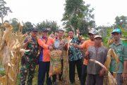 Semangat Pagi, Babinsa, Mantan dan Kapoktan Panen Jagung di Tragah Bangkalan