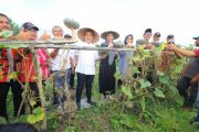 Menengok Kisah Sukses Petani Labu Kuning di Banyuwangi
