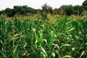Dinas Pertanian Halut Kembangkan 4.000 Ha Jagung