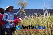 HUT ke I MSP di Situbondo, Wabup Situbondo Berharapkan, Situbondo Menjadi Lumbung Padi Jawa Timur