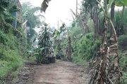 Warga Kesal, Jalan di Wagir Ditanami Pohon Pisang