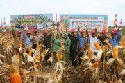 Program Pajale,Forkopimda Aceh Jaya Panen Jagung Perdana