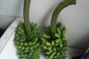 Pisang Mas Kirana dan Pisang Agung Semeru Primadona Lumajang