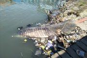 Koramil 0817/05 Bersama Dinas Perikanan Akan Makamkan Hiu Tutul