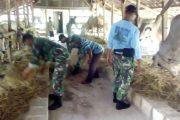Babinsa Koramil 0817/13 Ujungpangkah Pelopori Penggemukan Sapi
