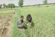 Babinsa Bantu Petani Bersihkan Gulma Tanaman Padi di Burneh Bangkalan