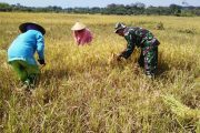 Anggota Koramil Tanah Merah Bangkalan Bantu Petani Panen Padi