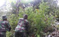 Tim Satgas Pengaman Perbatasan RI-PNG YONIF Mekans 512/QY Temukan Ladang Ganja