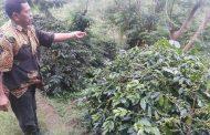 Toarco Jaya Dan Sulutco Layak Dikembangkan Agrowisata