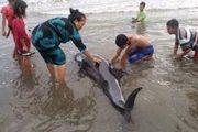 Lumba-Lumba Terdampar  di Pantai Mangindara Takalar
