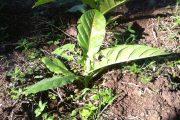 Akibat Cuaca Buruk Petani Tembakau Mengeluh