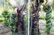 Terdapat  Pohon Kelapa Ajaib di Plosok Aceh