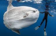 Sun Fish (Ikan Mola-Mola) Ada di Nusa Penida