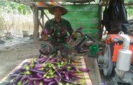 Babinsa Koramil Sanana Temukan Emas Hijau di Sula
